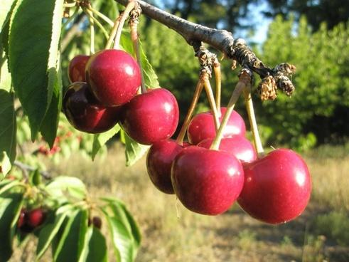 cherries tree red
