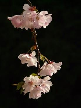 cherry blossom flower tree