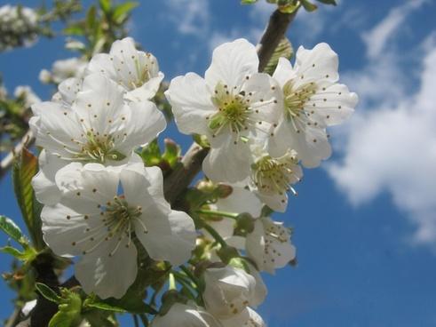 cherry blossom flower white