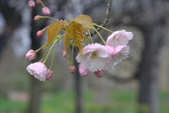cherry blossom flowers pink