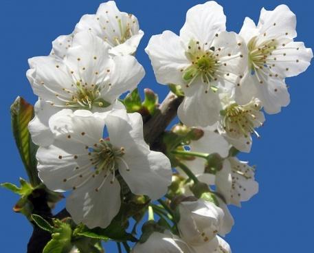cherry blossom free blue