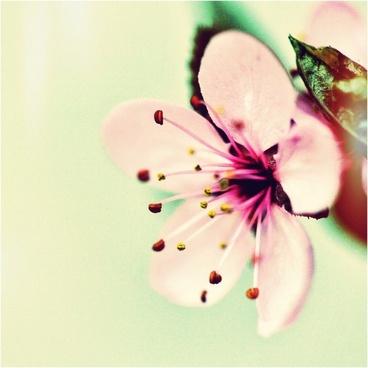 cherry blossom japanese cherry blossom spring