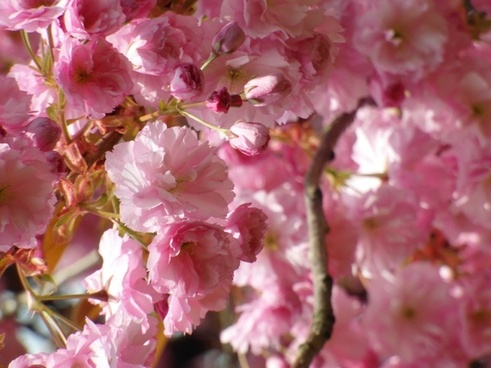 cherry blossom red spring