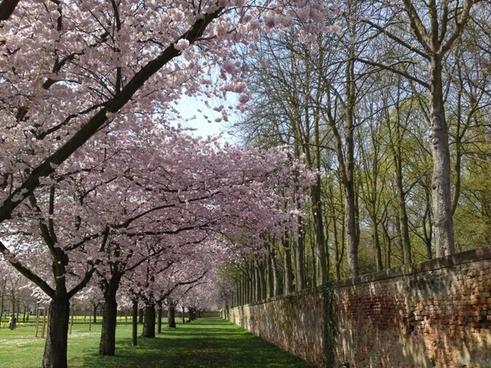 cherry blossom schlossgarten landscape