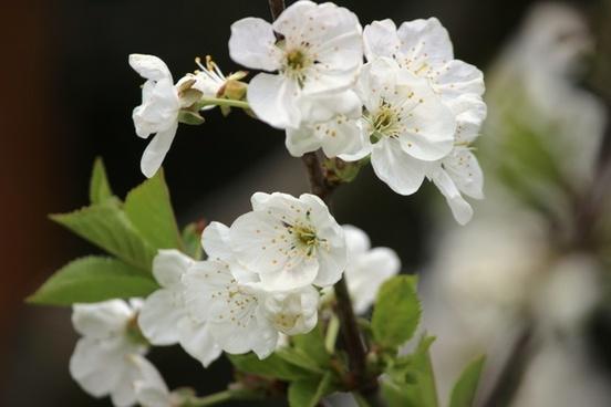 cherry blossom sour cherry spring