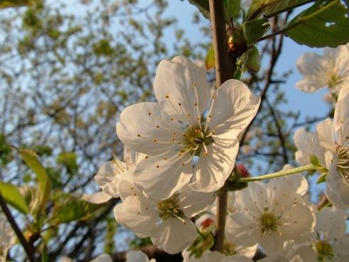 cherry blossom spring cherry