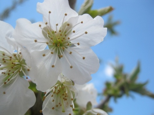 cherry blossom spring flower