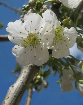 cherry blossoms white spring