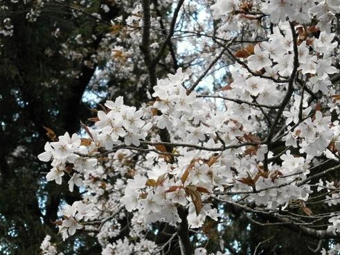 cherry cherry tree cherry blossom