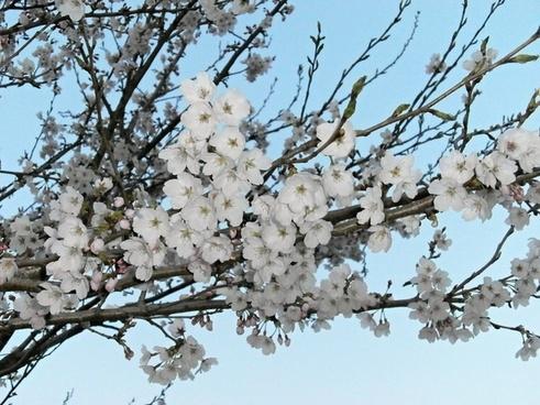 cherry cherry tree cherry blossoms