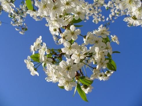 cherry tree blossom blossoms