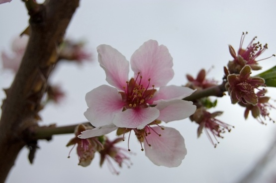 cherry tree cherry blossom