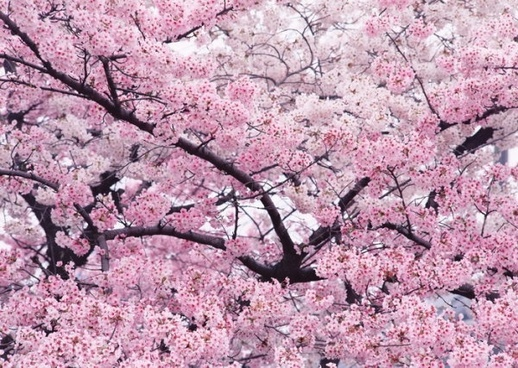 cherry trees in highdefinition images