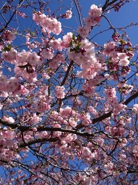 cherry trees kungstr�dg�rden