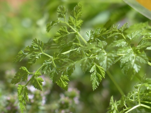 chervil kitchen herb herb