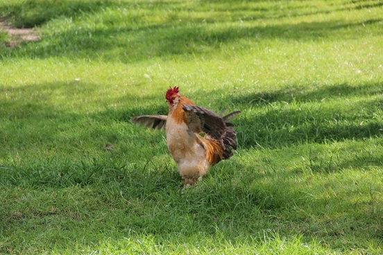 chicken flapping wings in grass field