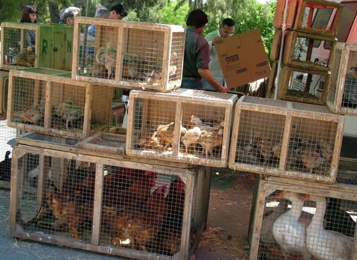 chicken on a weekly market