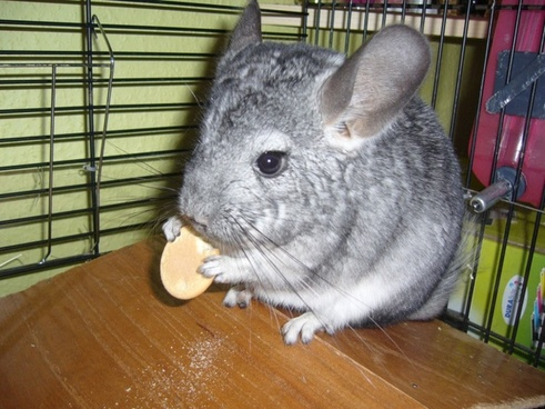 chinchilla with biscuit