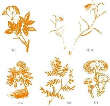 chinese herbal medicine the angelica chuanbei thirtyseven astragalus ganoderma lucidum vector