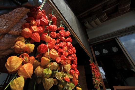 chinese lantern plant physalis alkekengi