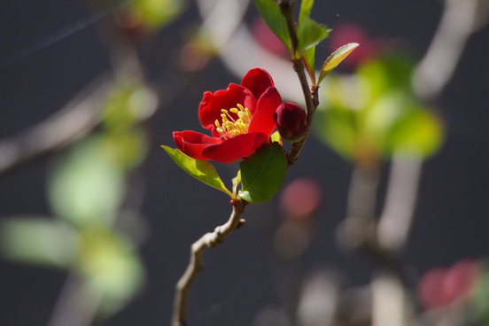 chinese quince chaenomeles speciosa