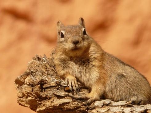 chipmunk croissant squirrel