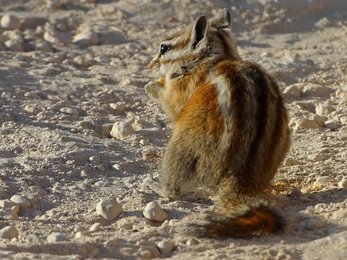 chipmunk squirrel nager