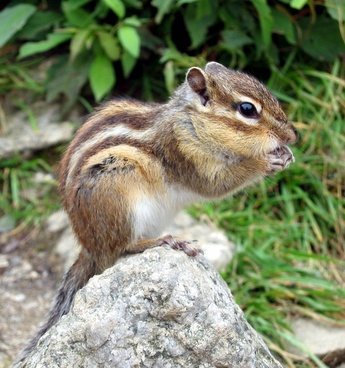 chipmunk squirrel tamias