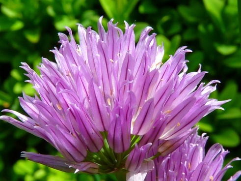 chives flower herb limited