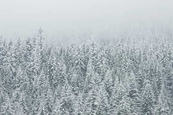 christmas cold fir fog forest freeze frost frozen