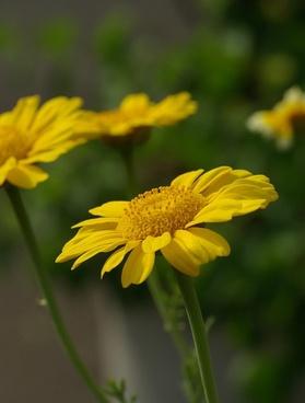 chrysanthemum flower crown marigold
