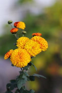 chrysanthemum matsudo chiba japan