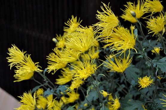 chrysanthemumgion