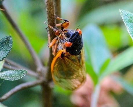 cicada insect hemiptera