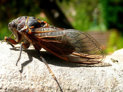 cicada insects nature