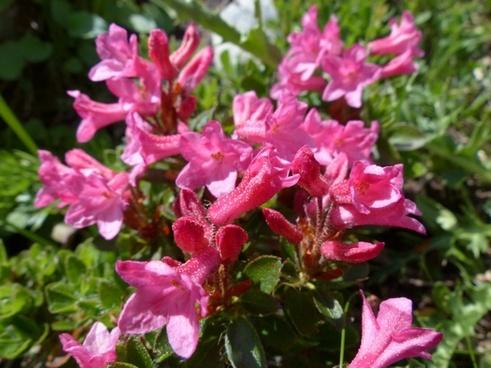 ciliated alpenrose flowers alpine roses