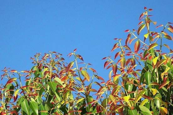 cinnamon leaves plant