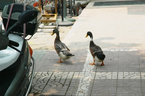 city duck tails