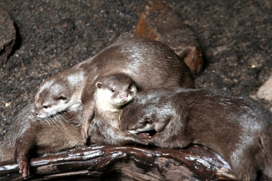 clawed otter