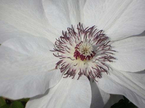 clematis flower bloom