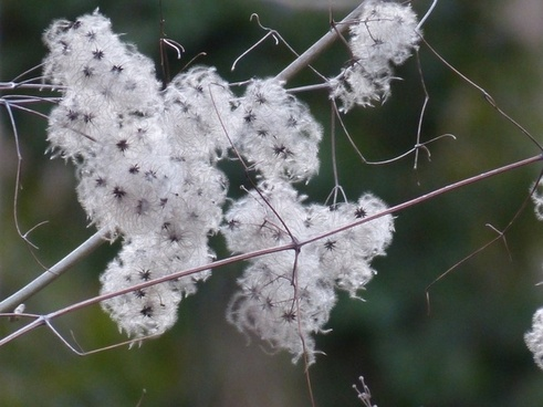 clematis liane plant