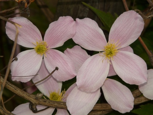 clematis plant flower