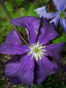 clematis purple flower