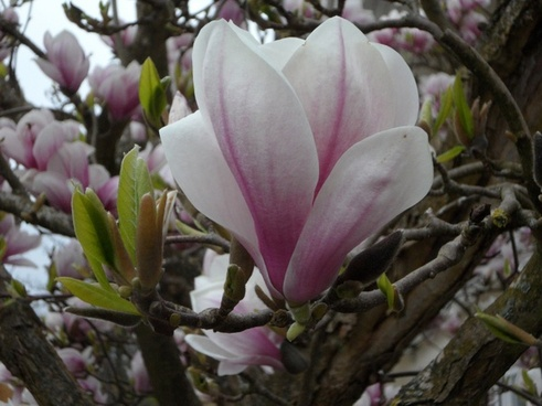 close flower magnolia