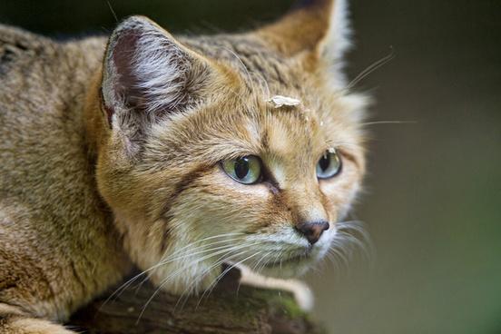close sand cat