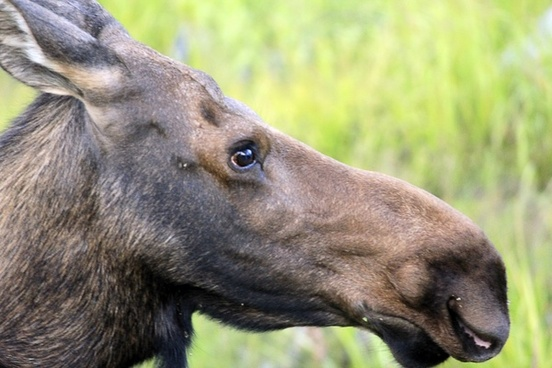 close up of a moose at rocky mountains national park colorado
