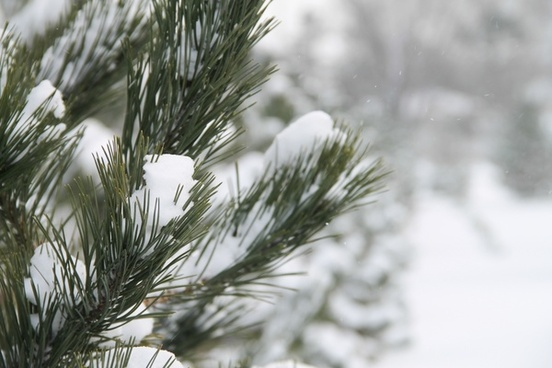 close up of pine tree needles covered in fresh snow