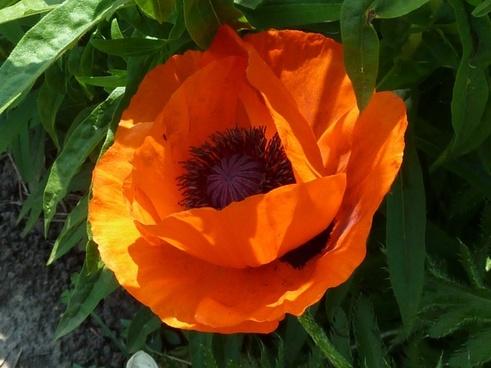 close-up flower orange