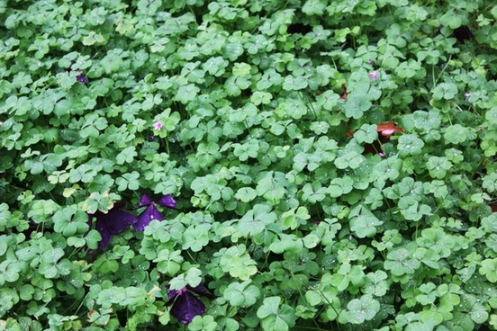 clover green lucky