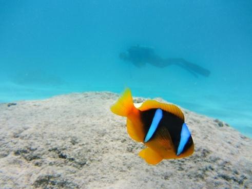 clown fish nemo fish